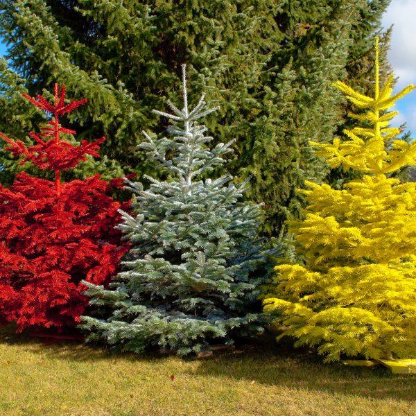 Juletræer til udstilling